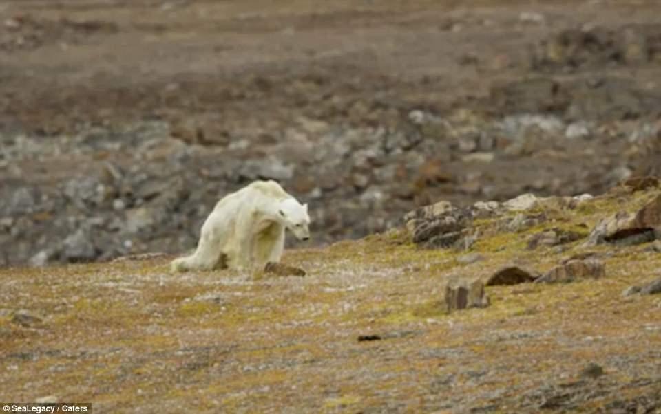 Kutup ayısının yaşam mücadelesi