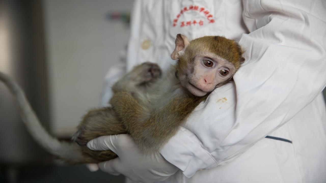 laboratuvar maymunu