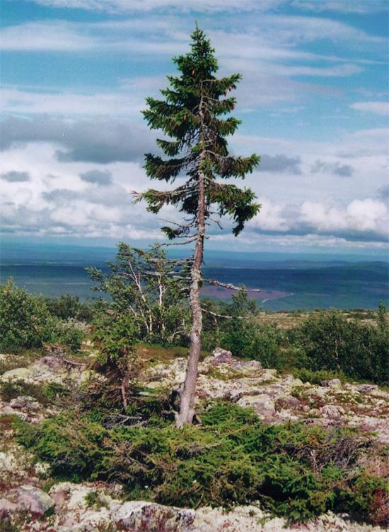 dnyann en yal aac ise svete dalarna blgesinde bulunan old tjikko adl aa 9550 yandaki aacn bin yllar boyunca yaamasnda ise blgedeki