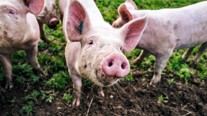 domuzlar