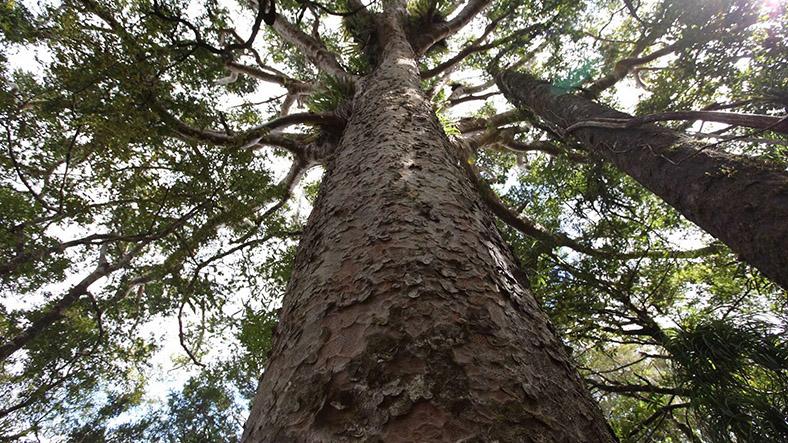 Kauri ağacı
