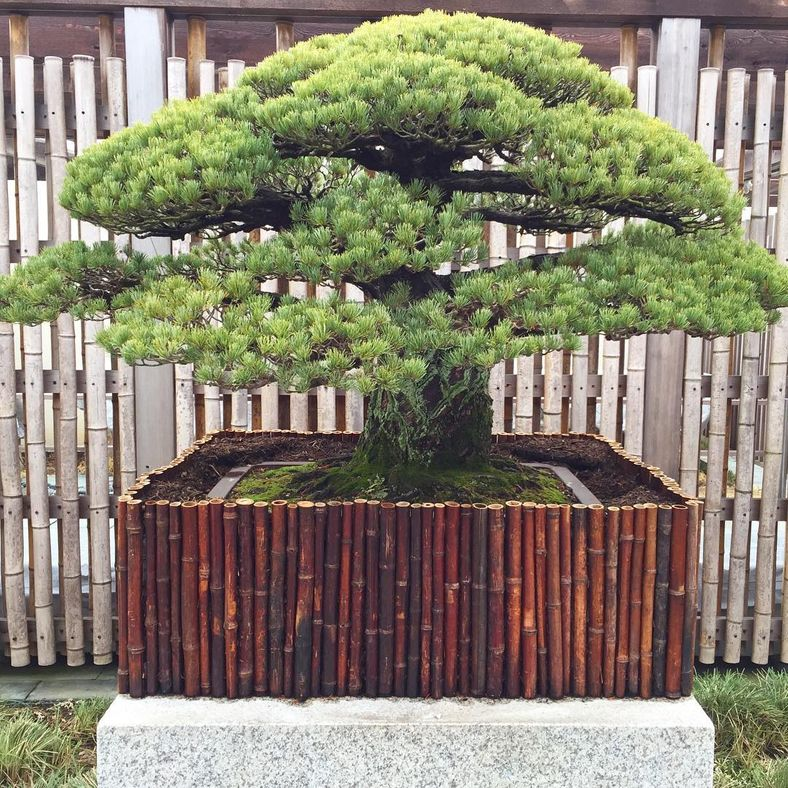 394-yıllık-bonsai-ağacı