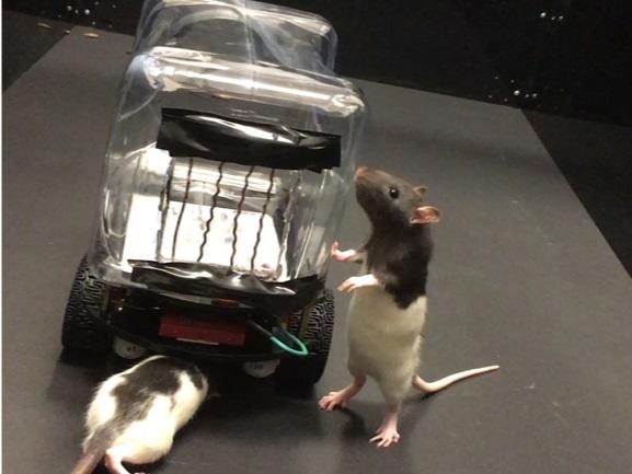 Bilim insanları, farelere araba sürmeyi öğretti (Video)