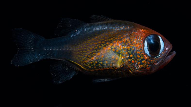 kedi gözlü kardinal balığı
