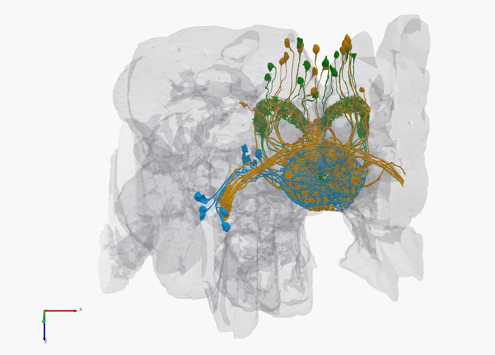 sirke sineği hemibrain