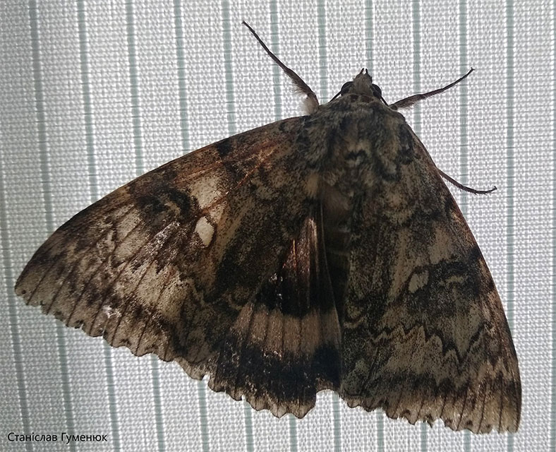 çernobil kelebek