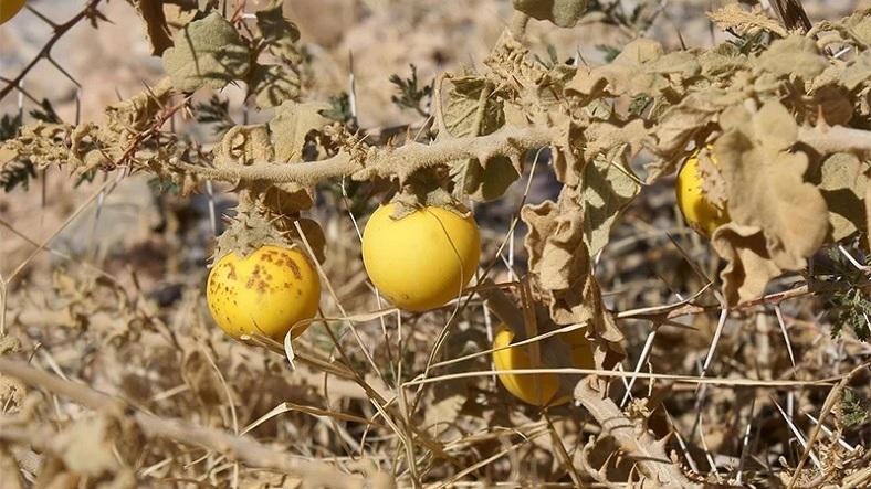 Yapay Seçilim Nedeni ile Evrim Geçiren 6 Sebze ve Meyve - www.dergikafasi.com