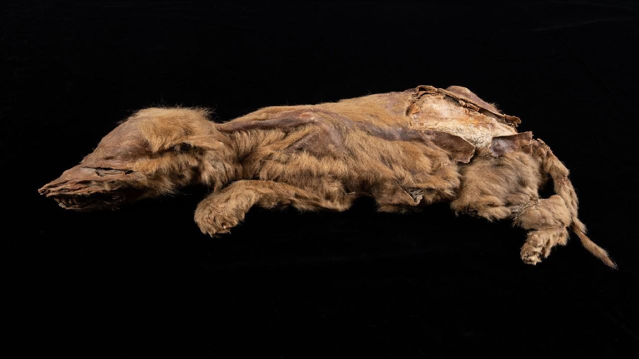 57 bin yıllık yavru kurt fosili