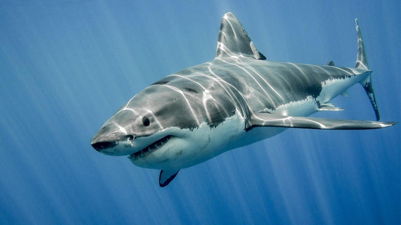 köpək balığı