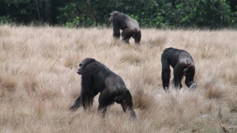 Bilim İnsanları İlk Kez Şempanzelerin Gorilleri Öldürdüğüne Tanık Oldu