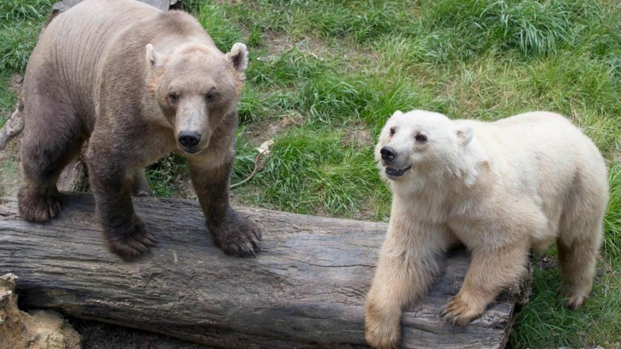 Bozayı (sol) ve kutup ayısı (sağ)