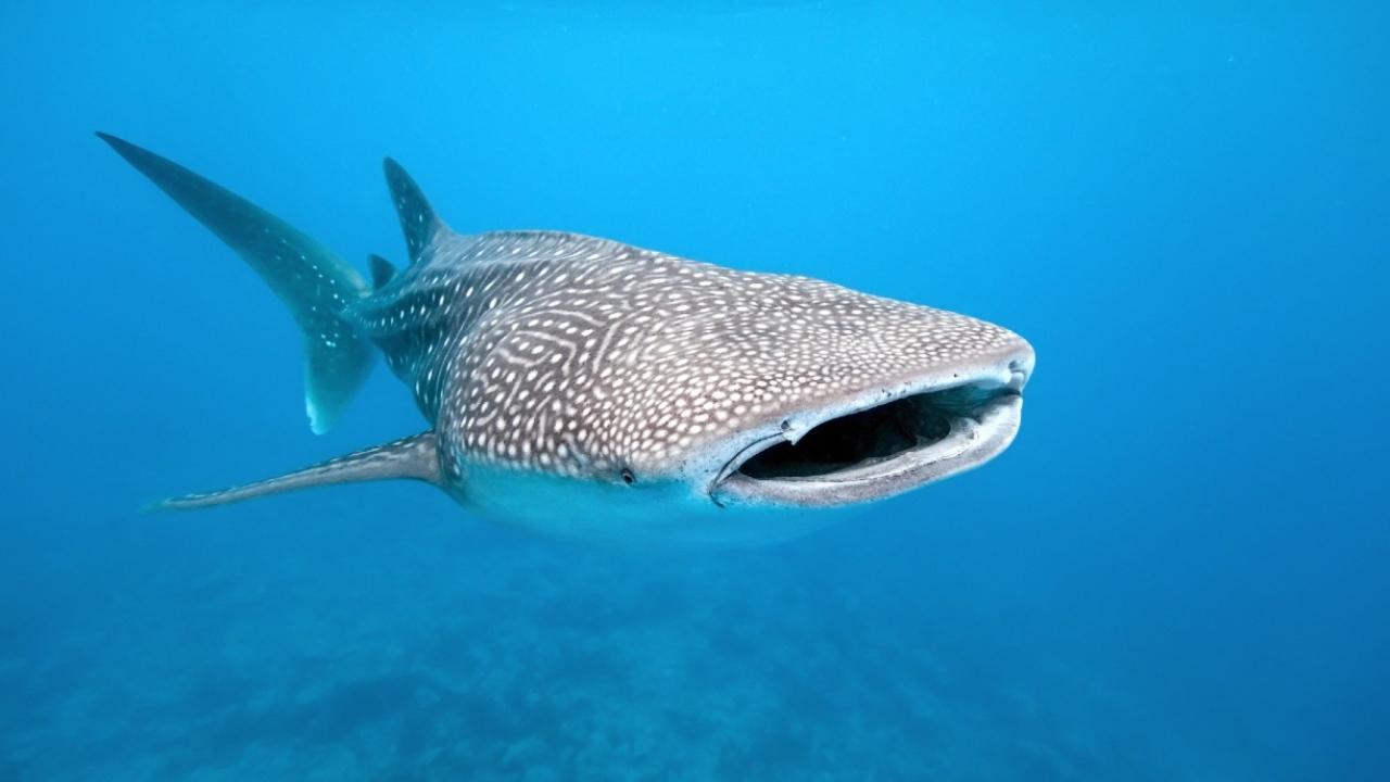 Balina köpek balığı