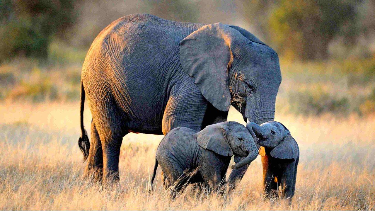 Bir Afrika fili ve yavruları