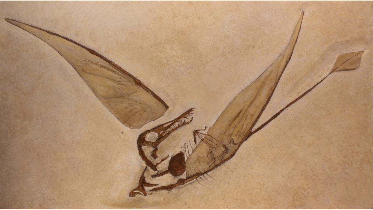 Rhamphorhynchinae fossil