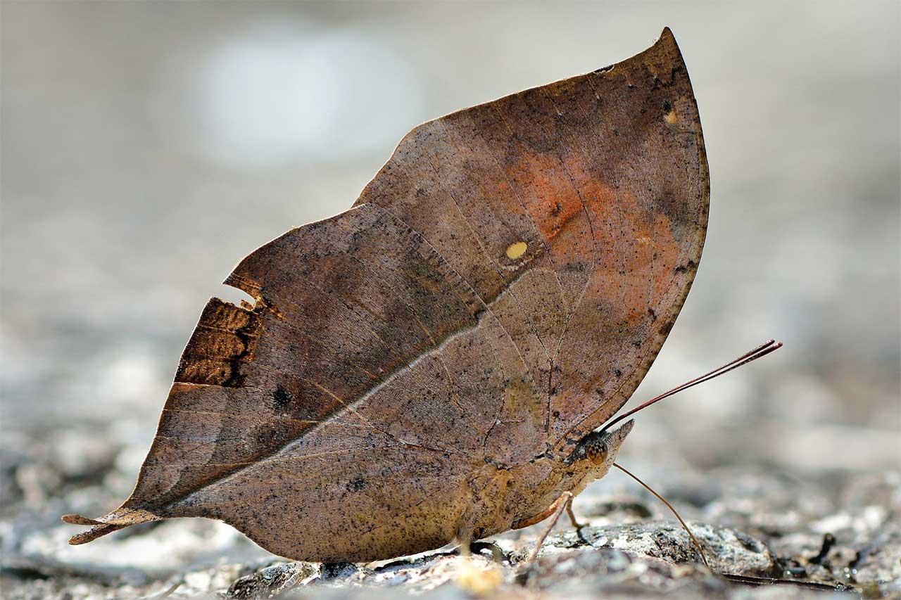 Ölü yaprak kelebeği