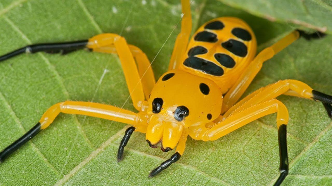 8 noktalı yengeç örümceği