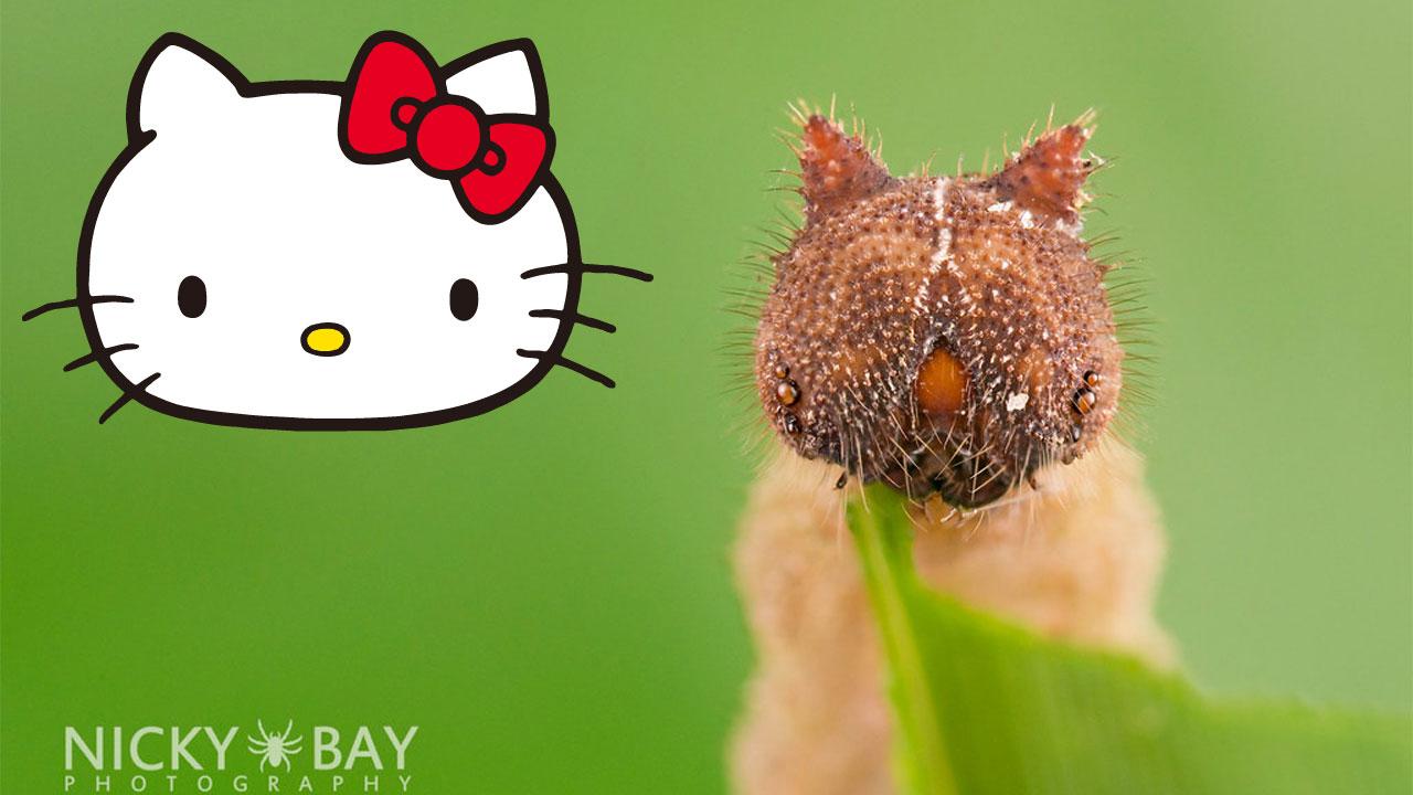 Hello Kitty tırtılı