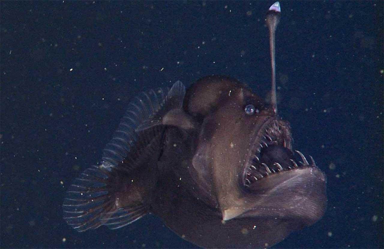 Siyah deniz şeytanı