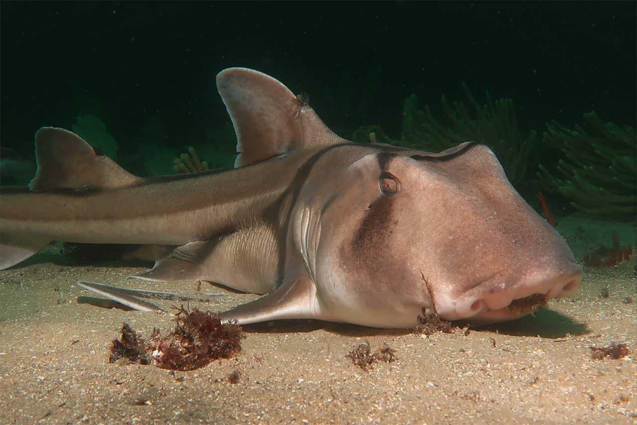 Port Jackson köpek balığı